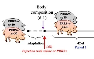 PRRSV on feed efficiency
