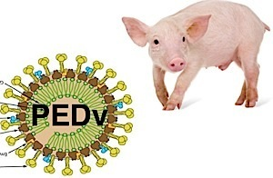 The Dreaded Ps of Pork Production - PRRS and PEDV