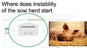 In-Field Research & PCV2 Sow Herd Stability: Our Process