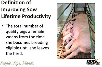 Sow Lifetime Productivity