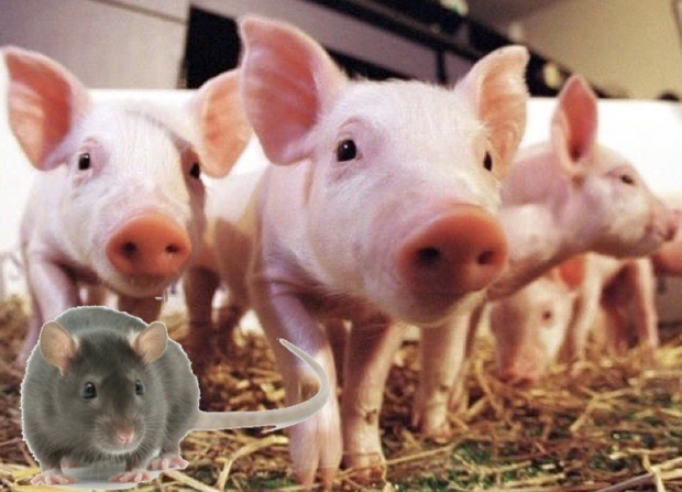 Integrated Pest Management of Rodents in Swine Facilities